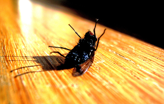 Fly dying