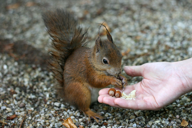 Feeding a red squirrel at the Schonbrunn Palace, Vienna
