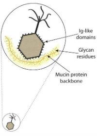 Bacteriophage. Image: Dr Jeremy Barr.