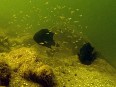 Amphilophus sagittae in Lake Xiloá