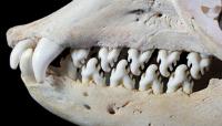 Crabeater Seal. Image: David Hocking (Evans Lab).