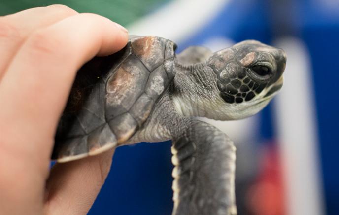 Green Turtle. Image: Christopher Gatto, PhD Student, Reina Lab.