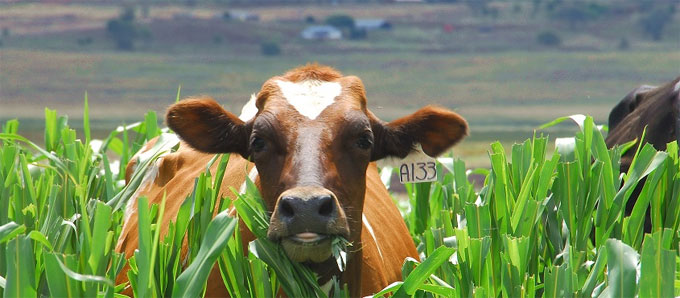 cow in crops