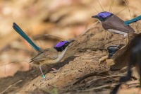 Social experiment - male Purple-crowned Fairy Wren stand off with 3-D Model. Image: A/Professor Anne Peters.