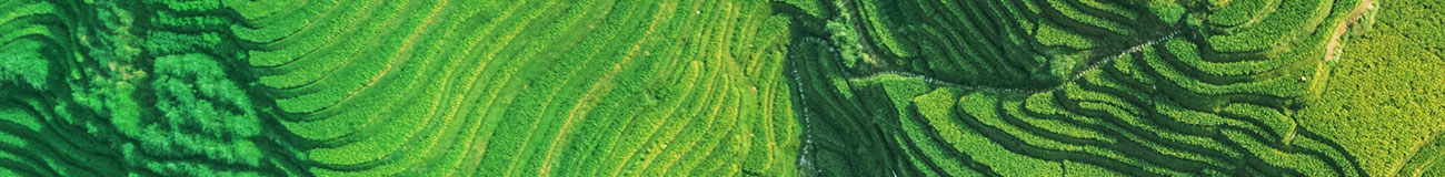 Ricefield green
