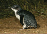 Penguin. Image: A/Professor Richard Reina.