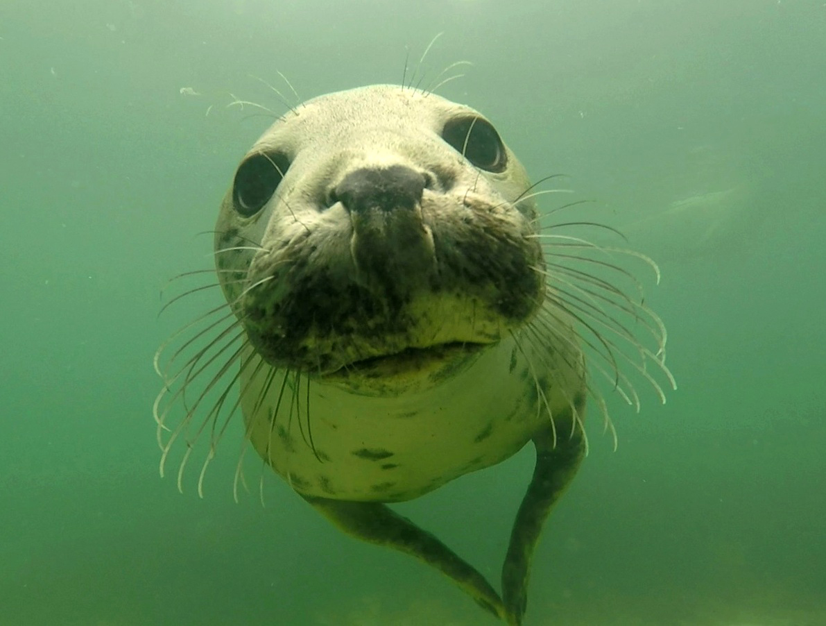Wild grey-seals-discovered-clappin
